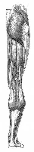 Leg Back Muscles Overview