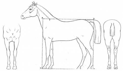 Horse 3-view and Basic Proportion