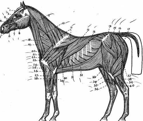 Horse Side Muscular Diagram