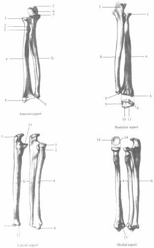 Lower Arm Radius Ulna