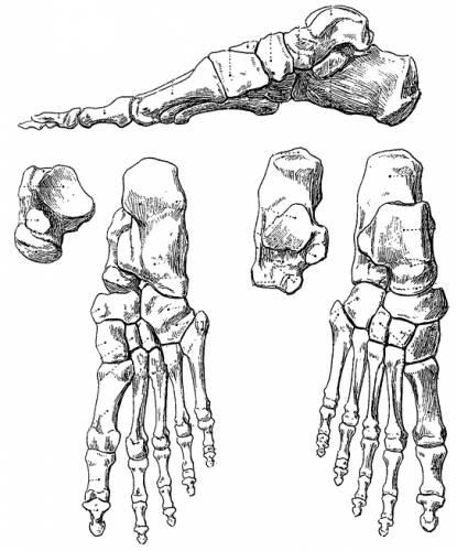 Blueprints Humans Anatomy Foot Bones