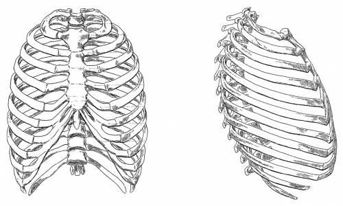 the-blueprints - blueprints > humans > anatomy > rib cage, Skeleton
