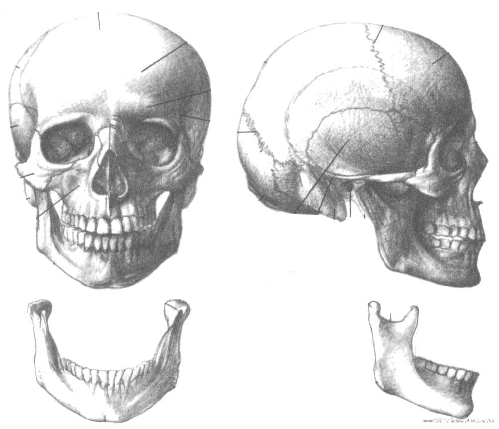 Blueprints > Humans > Anatomy > Skull