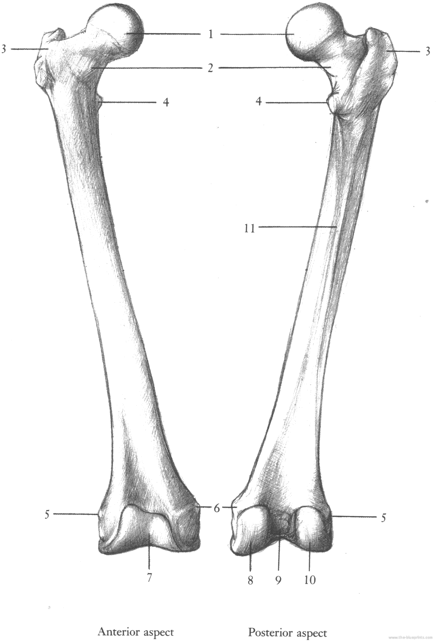 Unlabeled Femur Diagram Block And Schematic Diagrams