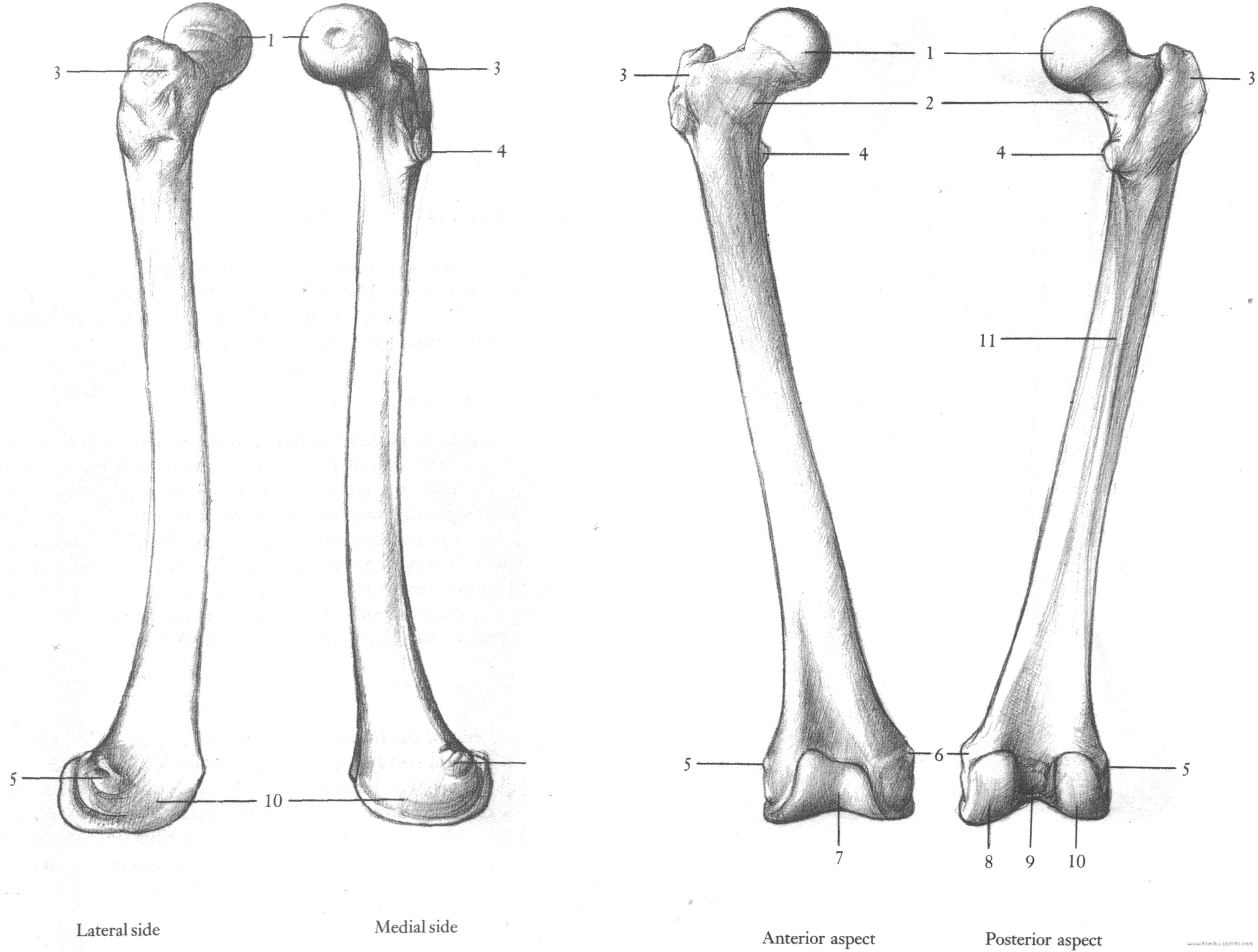 Blueprints > Humans > Humans > Complete Femur Upper Leg bone